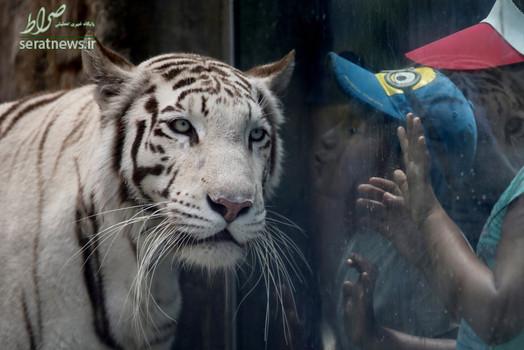 یک کودک سعی می کند ببر سفید بنگال را در باغ وحشی در لیمای پرو ببوسد