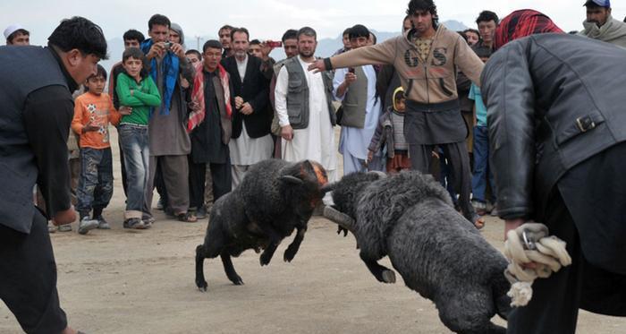 عکس خروس افغان
