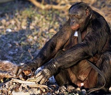 71742 819 شامپانزهای که آشپزی میکند +تصاویر