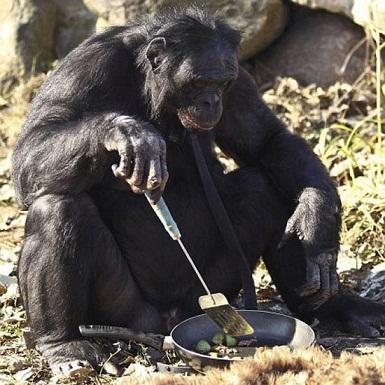 71746 744 شامپانزهای که آشپزی میکند +تصاویر