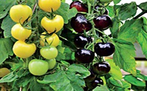تصاویر/ پرورش گوجه فرنگی به رنگ سیاه!