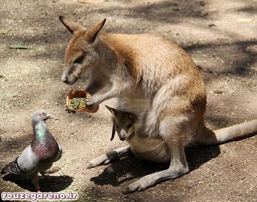 ع / تعارف جالب کانگورو به کبوتر!