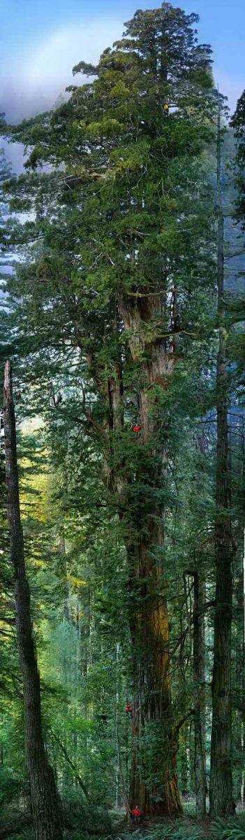 ع / بلند ترین درخت جهان