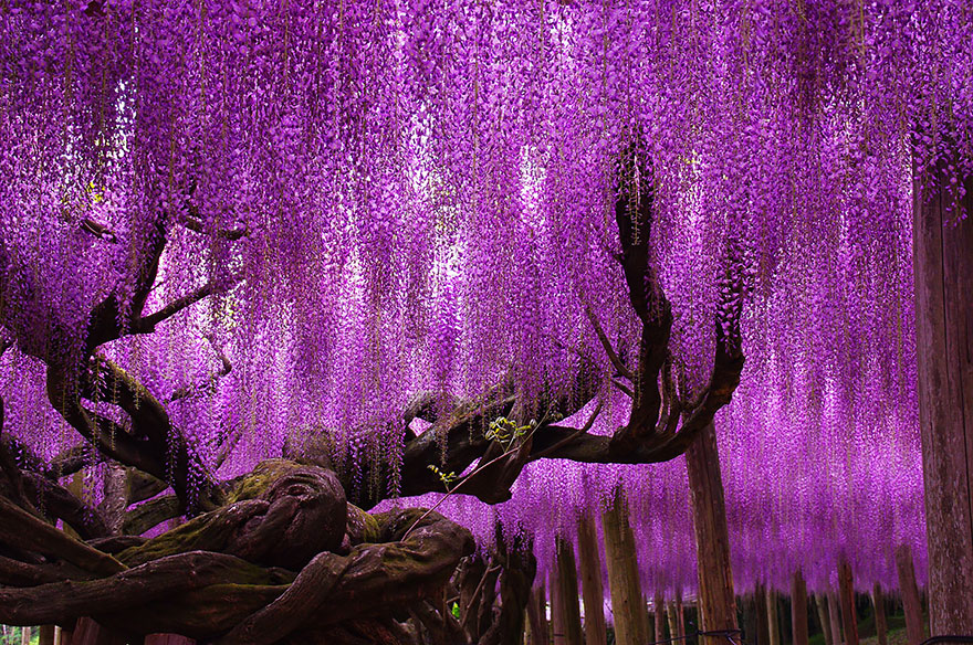 درخت 144 ساله ویستریا در ژاپن