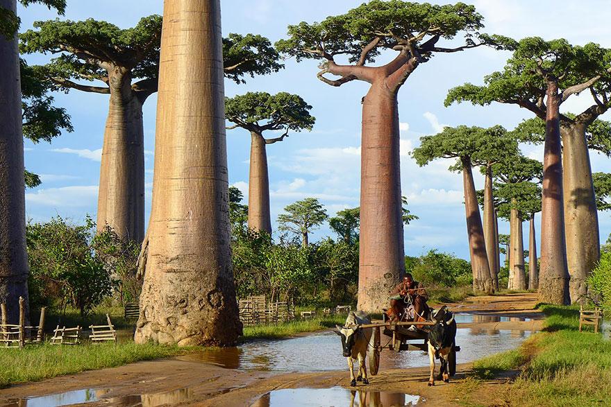 درخت بائوباب در ماداگاسکار