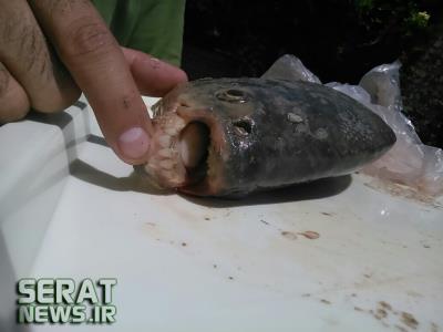 صید یک ماهی عجیب وغریب درخراسان رضوی+عکس