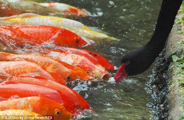 تصاویری زیبا از غذادادن قوها به ماهیها