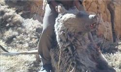 قاتل خرسهای قهوهای دنا دستگیر شد +عکس