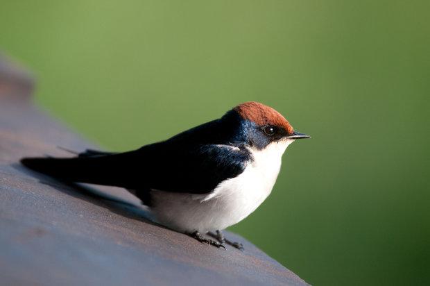 مشاهده گونه جدید پرنده در ایران+عکس