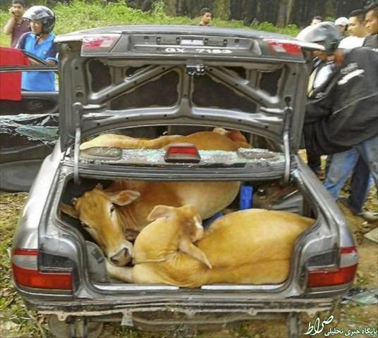 عکس/ حمل 4 گاو با خودروسواری درمالزی