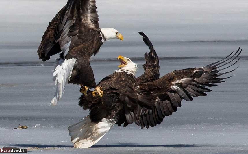 عکس/ جدال دیدنی عقابهای گرسنه
