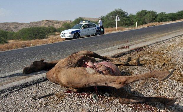 2 کشته در برخورد پژو با شتر +عکس