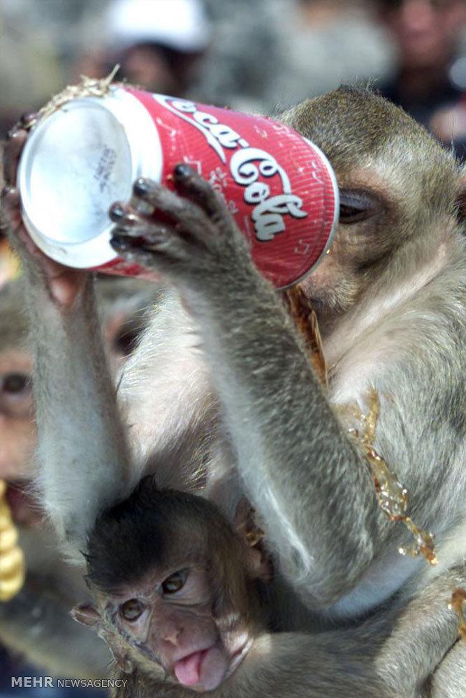 عکس/ میمون در حال نوشیدن نوشابه