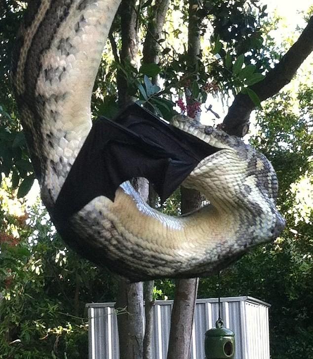 تصاویر/ ماری که خفاش بزرگ را بلعید