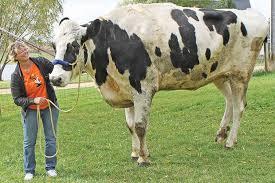 بلندترین گاو دنیا چشم خورد! +عکس