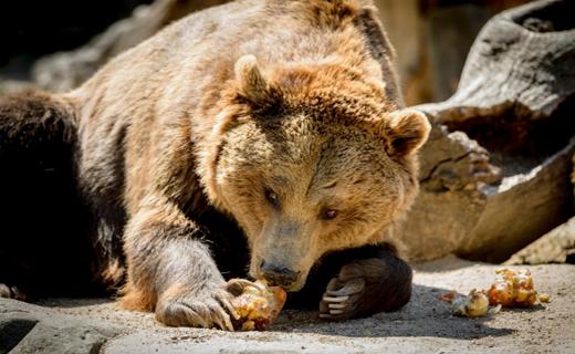 خرس گریزلی یک کوهنورد را خورد+عکس