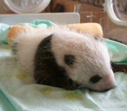 تصاویر جالب از به دنیا آمدن نوزاد پاندا
