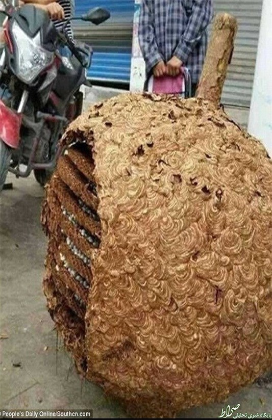 تصاویر/ بزرگترین کندوی زنبور سرخ
