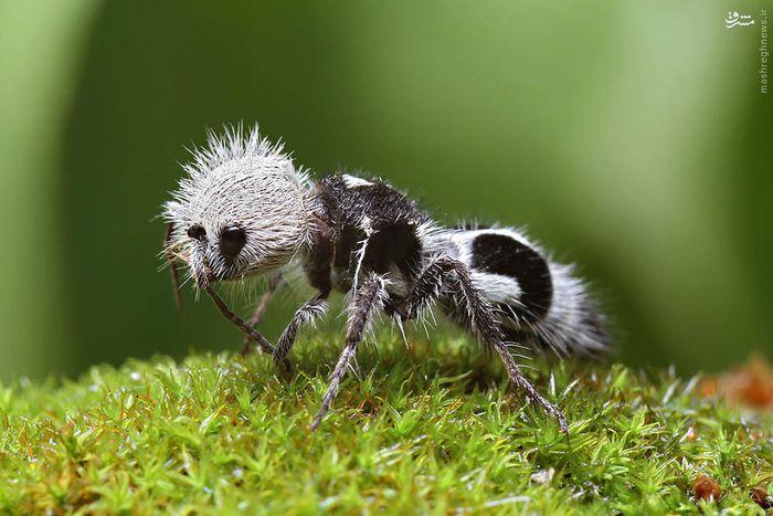 عکس/ مورچه پاندا دیدید؟!