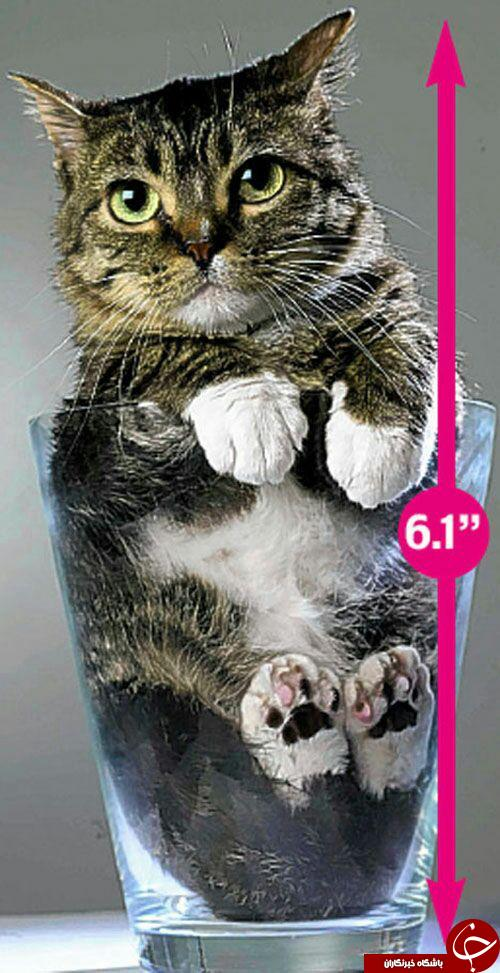 کوچکترین گربه دنیا +تصاویر