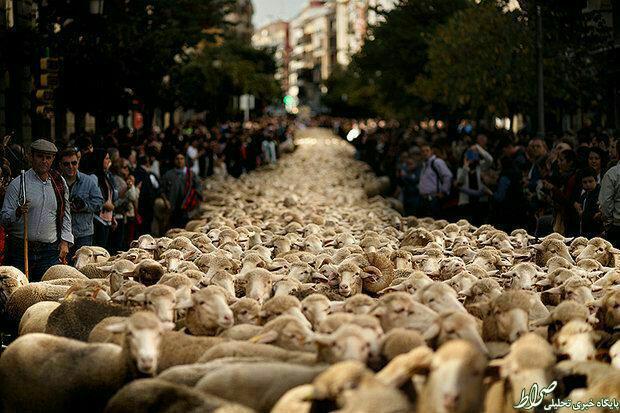 عکس/ تظاهرات گوسفندها در اسپانیا