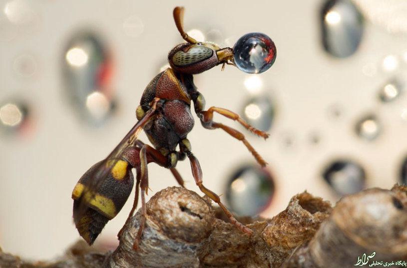 عکس/ لحظه زیبا از آب خوردن زنبور