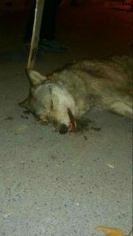 گرگ به روستا زد و مسئولان سرش را بریدند! +تصاویر