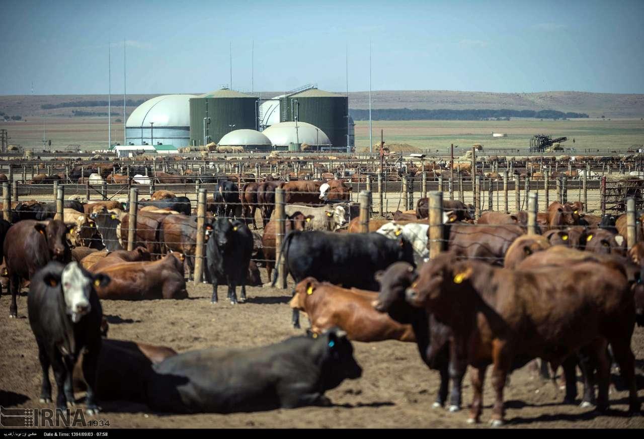 قیمت پهن گاو