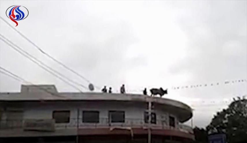 خودکشی گاو افسرده از ساختمان سه طبقه!+عکس
