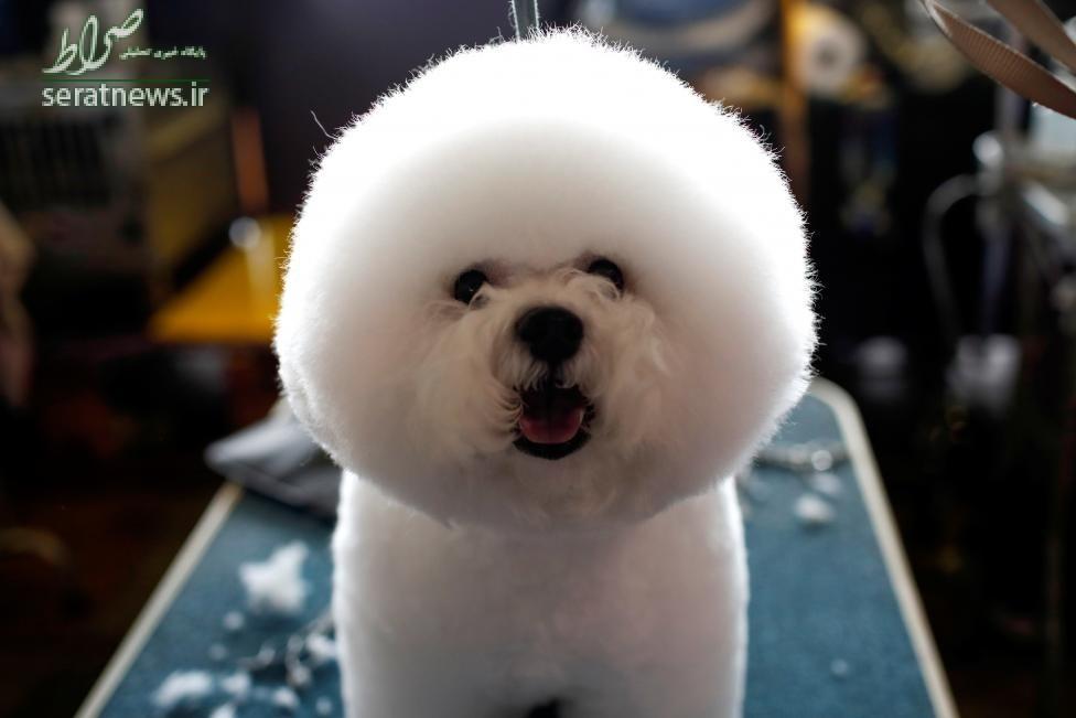 سگ زینتی