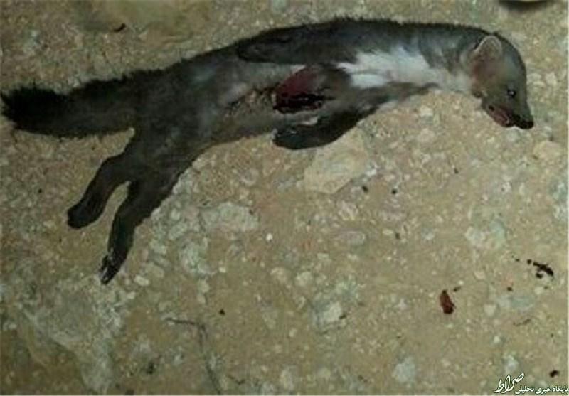 حیوانی مخوف در میان مردم عربستان +عکس