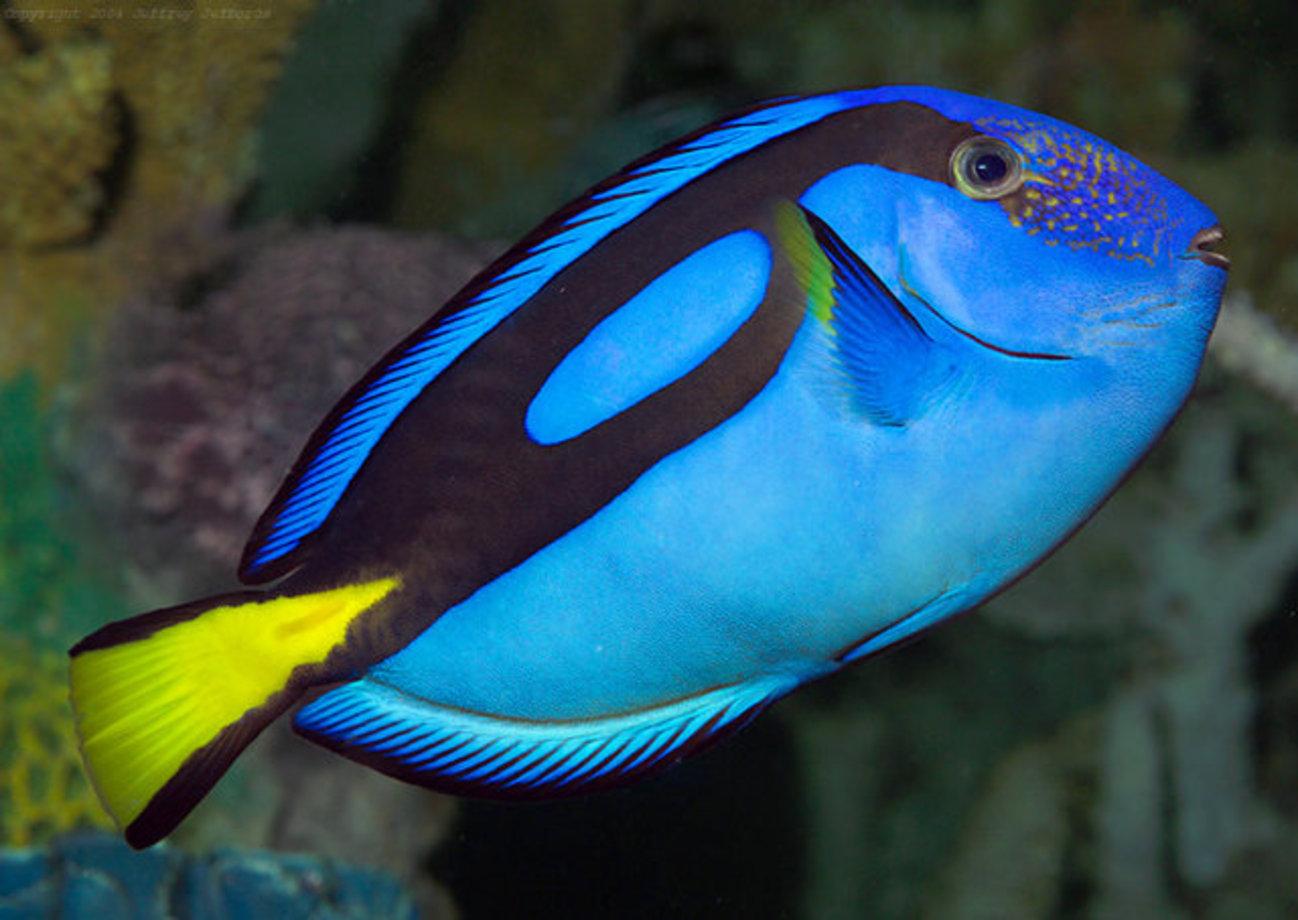 شیوه دفاعی عجیب یک ماهی +عکس