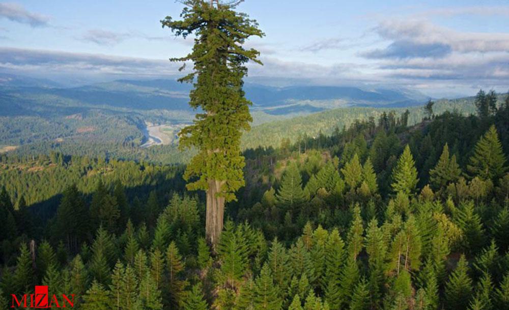 عکس/ بلندترین درخت روی زمین