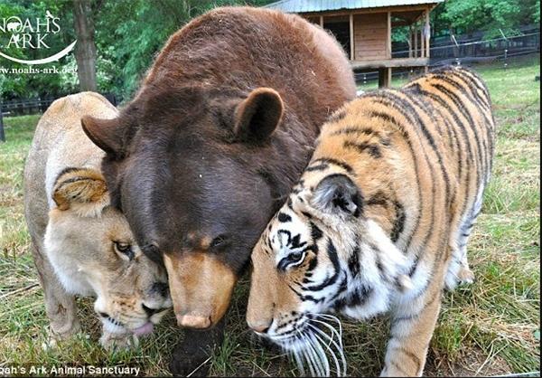 عکس/ دوستی شیر، خرس و ببر