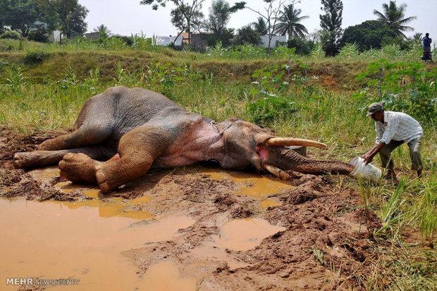 عکس/کمک نگهبان جنگل به فیل مجروح