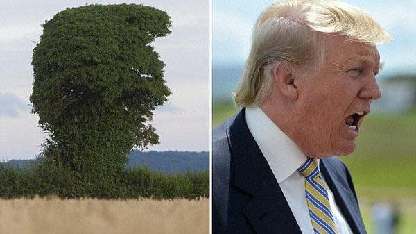 شباهت عجیب ترامپ با یک درخت+تصاویر
