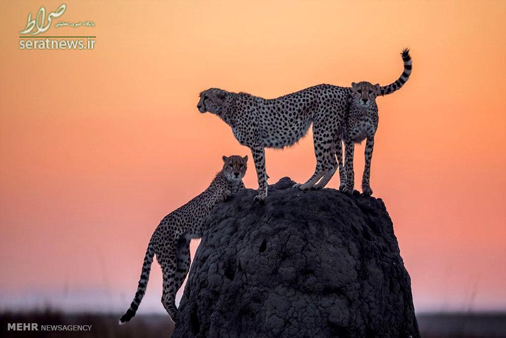 عکی/یوزپلنگ ایرانی در کنیا