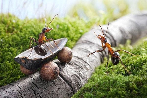 مورچه ای که قهوه می کارد+عکس