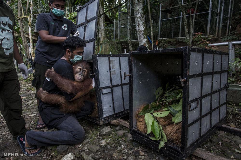 تصاویر/مرکز توانبخشی اورانگوتان ها