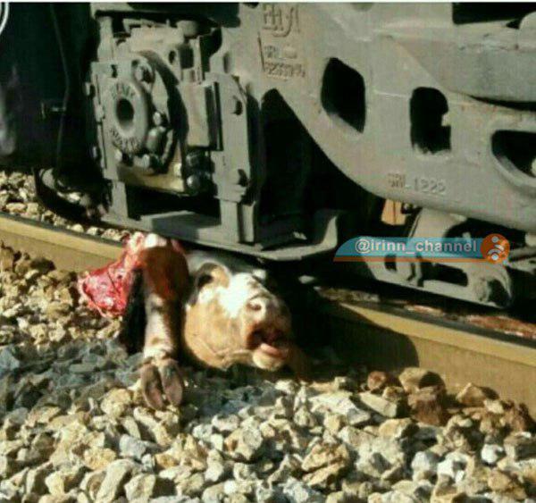 عکس/ برخورد قطار با گاو