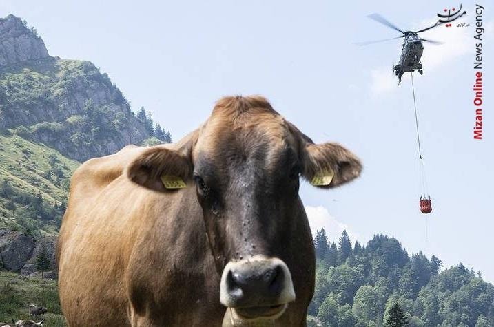 آب رسانی به گاوها+عکس