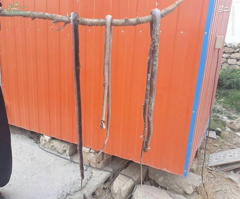 عکس/ ورود مار به کانکس زلزلهزدگان کرمانشاه