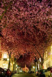 درخت شکوفه گیلاس در شهر بن آلمان
