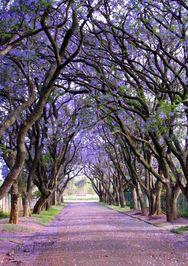 Jacarandas در آفریقای جنوبی