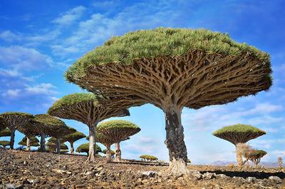 درخت Dragonblood در یمن