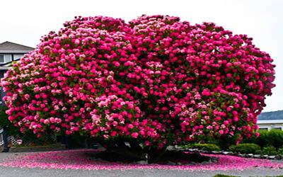 درخت 125 ساله  Rhododendron  در کانادا