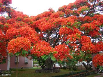 درخت شعله مانند در برزیل