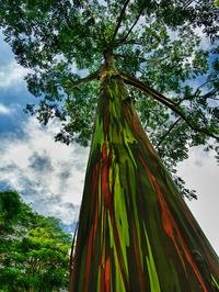 اکالیپتوس رنگین کمانی در کائوآئی، هاوایی