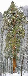 Sequoia سومین درخت غول پیکر جهان در کالیفرنیا