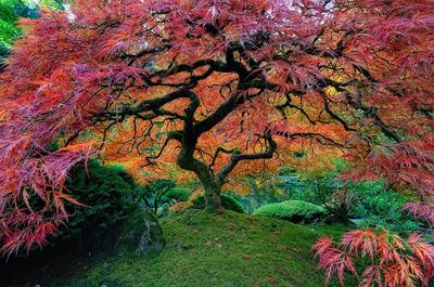 زیبا ترین درخت افرا ژاپنی در پورتلند اورگان